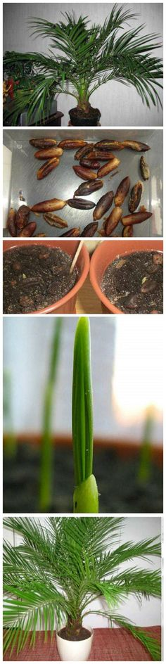 Een mooie reeks van foto's hoe de dadelpalm groeit. Meer informatie over de dadelpalm staat op onze website! http://www.onszaden.nl/phoenix_dactylifera