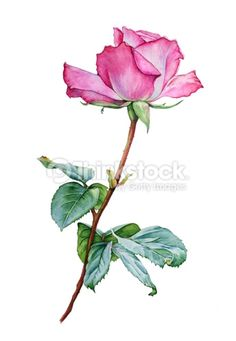 Stock Photo : Watercolor with a Rose