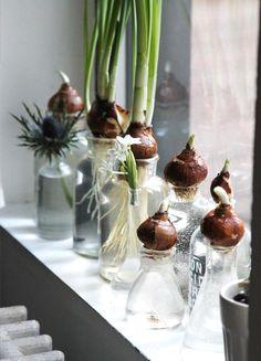 Mai senza: bulbose. Controllare ogni mattina se sta spuntando il fiore e godere del meraviglioso profumo dei giacinti. (un pensiero di Sabrine, FRAGOLE A MERENDA)