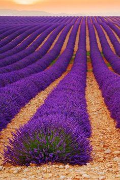 flores y paisajes-Lavender field at plateau de Valensole, Provence, France Purple Love, All Things Purple, Shades Of Purple, Purple Stuff, Beautiful Flowers, Beautiful Places, Beautiful Artwork, Amazing Places, Beautiful Pictures