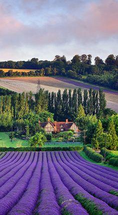 Lavender Summer Harvest by Nigel Morton   Eynsford, England
