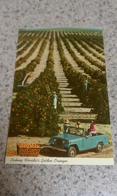 Vintage ephemera postcard that has not been used. Features Florida scene picking orange trees. No stains. A llittle vintage yellowing. No