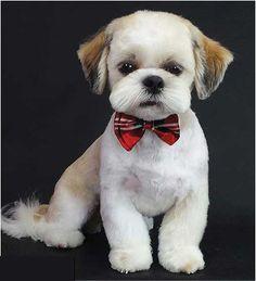 Shih Tzu Teddy bear cut Dog Grooming Shop, My Life