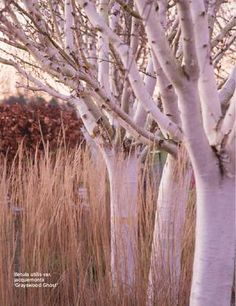 Betula jaquemonti - Himalayan Birch, I have planted 3 trees in one hole to keep them smaller, but their white bark is fantastic and they grow out of the feather grass planting I have described