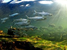 ciscoes canada underwater photography