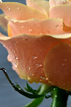 Raindrops in a Rose