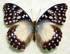 A beautiful white spotted African Female butterfly, Cymothoe Beckeri, a native of Africa. c.