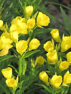 Yellow Flowers Evening Primrose Http Hgtvgardens Com Photos