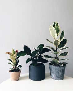 Ficus elastica family 'Shivereana' (left), 'Burgundy' (middle) and 'Tineke' (right). All with their own personalities and needs. Love 'em Found the Shivereana randomly in a small garden center I drove Ficus Elastica, Decoration Plante, Plants Are Friends, Plant Aesthetic, House Plants Decor, Foliage Plants, Small Gardens, Green Plants, Houseplants