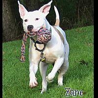 Shippenville, Pennsylvania - American Pit Bull Terrier. Meet Zane, a for adoption. https://www.adoptapet.com/pet/16124081-shippenville-pennsylvania-american-pit-bull-terrier