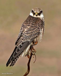 Kestrel, Vertebrates, Big Bird, Birds Of Prey, Raptors, Hawks, Merlin, Predator, Animal Kingdom