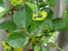 Homemade Anti-Fungal Spray for Black Spot on Roses