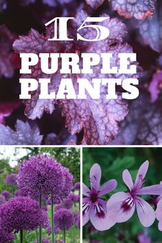 15 Eye-Popping Purple Plants - Purple Flowers & Foliage For Your Garden Purple Perennials, Purple Plants, Purple Garden, Purple Heart Plant, Outdoor Plants, Garden Plants, Outdoor Gardens, Small Gardens, Horticulture