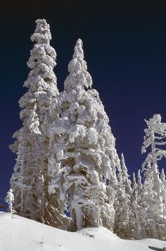 ✮ Snow-Covered Pine Trees On Mount Hood