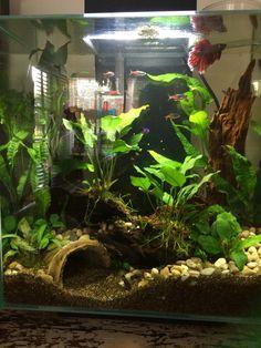 Love the environment this betta has in his tank - fresh water fish tank Aquarium Aquascape, Betta Aquarium, Aquarium Setup, Planted Aquarium, Aquascaping, Planted Betta Tank, Betta Fish Tank, Aquariums, Saltwater Aquarium