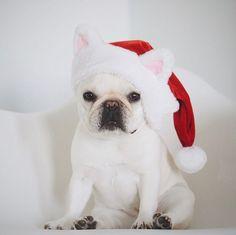 French Bulldog at Christmas ❤@piggyandpolly on Instagram