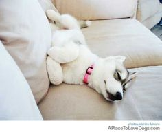 Husky puppy sleeping on the couch