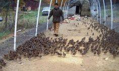 quail pens