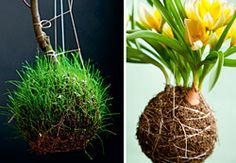 Para uma planta sobreviver no deserto é preciso ter um caule bem desenvolvido na sua base para suportar ventos e principalmente armazenar muita água e nutrientes. Pois não poderia ser diferente com a Rosa do Deserto, que vem chamando muita atenção e conqu