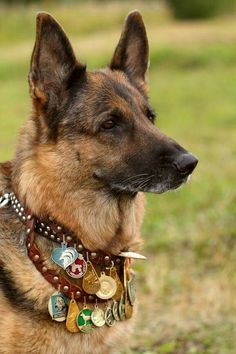 Tribute To Service Dogs! A tribute to our service dogs. A distinguished old fellow!A tribute to our service dogs. A distinguished old fellow! Military Working Dogs, Military Dogs, Police Dogs, Military Service, My Champion, War Dogs, Schaefer, Golden Retriever, German Shepherd Dogs