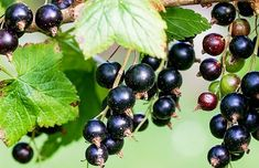 What is Cassis? (And Some Cocktails To Try) Black Currant Oil, Currant Berry, What Is Cassis, Cassis Fruit, Best Foods For Skin, Orange Sanguine, Vitamin C Benefits, Health Benefits, Cocktails To Try