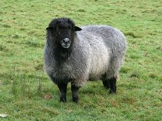 """The Romney is a """"long-wool"""" breed recognized in England by 1800. Description from pinterest.com. I searched for this on bing.com/images Baa Baa Sheep, Romney Sheep, Musk Ox, Future Farms, Fibre And Fabric, Sheep And Lamb, The Shepherd, Black Sheep, Sheep Wool"""
