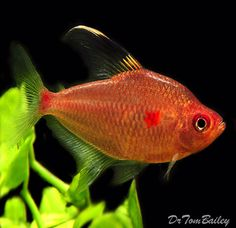 Bleeding Heart Tetra, Featured item. #bleeding #heart #tetra #fish #petfish…