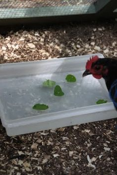 Hot Chickens?  Create a cooling Day Spa for your flock.