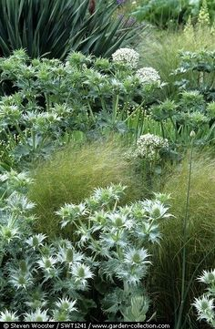 Eryngium and grasses in the gravel garden at The Beth Chatto Gardens in early…