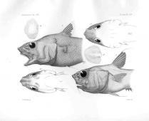MACRURUS BULBICEPS & BUCEPHALUS Rare Fish, Fish Illustration, Deep Sea Fishing, Galapagos Islands, Fish Print, Prints For Sale, South America, Animals, Animales