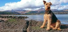 Our Airedale in Brodick, Isle of Arran