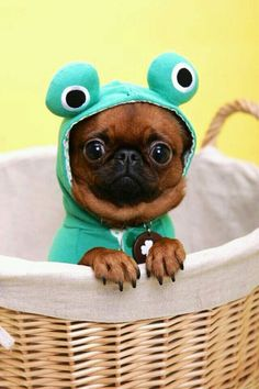 Frog pug .... I'm in disguise ! ... you'd never know I'm not really,  really  a wee frog !!!