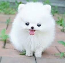 I can barely tell if this is a dog (I think it is) but it's heckin cute Cute White Puppies, Cute Puppies, Cute Dogs, Dogs And Puppies, Baby Dogs, White Pomeranian, Micro Teacup Pomeranian, Pomeranian Puppy, Teacup Puppies