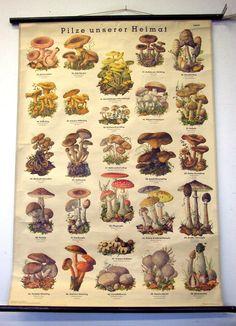 PILZE Schulkarte Lehrkarte Rollkarte Vintage Deko Schulwandkarte Lehrtafel in Antiquitäten & Kunst, Grafik, Drucke, Ansichten & Landkarten | eBay