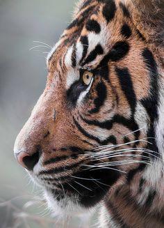 Tiger Tiger by Paul E.M.