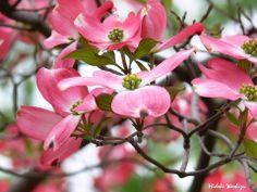 4月30日【ハナミズキ(花水木)】学名:Cornus florida別名:アメリカヤマボウシ形態:落葉広葉樹 樹高:高木分類:ミズキ科花色:白色や薄いピンク色の花びらのように見える総苞を付ける。中心に緑色の花序を持つ。使われ方:庭木、公園樹、街路樹など、幅広く使われています。