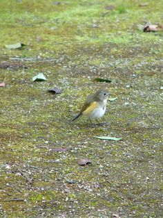 red-flanked bluetail : ルリビタキ