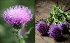 Milk thistle, regarded by some as a weed, is actually a very beneficial herb that can help a number of conditions. Here's how to grow, harvest and use it.