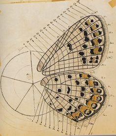 Butterfly Map - Nabokov's drawing of a heavily spotted Melissa Blue, overlaid with the scale-row classification system he developed for mapping individual markings. The original drawing is believed to be conserved in the New York Public Library