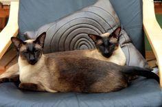 Poduszka, Koty, Syjamskie
