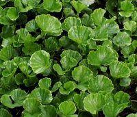 Woodland Plants - Herbaceous Woodlanders - Gunnera magellanica