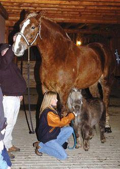Meet Big Jake - the world's tallest horse! He sticks at 20 hands high!