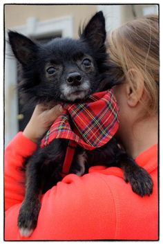 """Little Quincy is RADAR's first Schipperke mix. This is a Belgian breed that was originally used as watchdogs on boats, which accounts for the name pronunciation: """"Skipper-kee."""" Six-year-old Quincy might also have some Chihuahua in his mix. He arrived as a stray on October 1st at the Vance County Animal Control shelter in North Carolina. While Quincy had a great personality, he also had his share of problems: his walking was a little off balance, he had a few patches of thin hair, and he was…"""