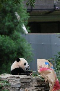 "There were also posters symbolizing good health and fertility. Bao Bao picked the longevity poster first, but later tore down the poster that read ""many cubs."" 