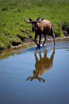 Moose With Water Reflection | by Uffe Jakobson  #moose  Visit our page here: http://what-do-animals-eat.com/moose/