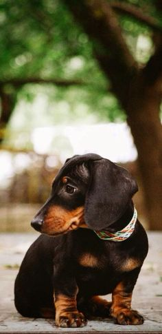 #Dachshund #Dogs #Puppy
