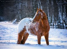 Chestnut appaloosa horse in snow. This one has an interesting pattern on it.