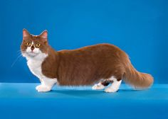 Gato Munchkin, Poodle, Alaska, Corgi, Cats, Animals, Breeds Of Cats, Corgis, Gatos
