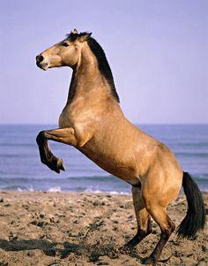 Steigerent paard