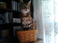 Amisi, my little(big) kitty! She actually got into the basket herself...!